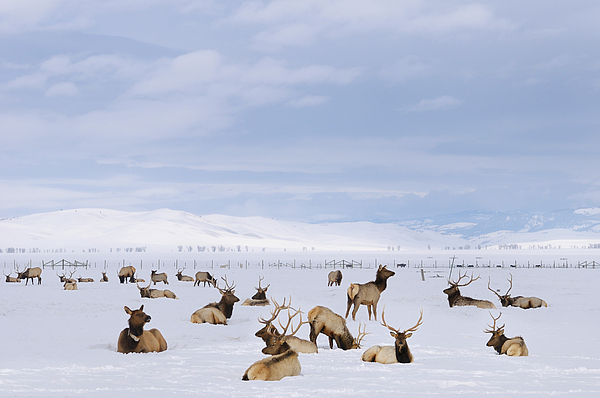 Reimar Gaertner - Herd of Elk wintering at the National Elk Refuge in Jackson Hole