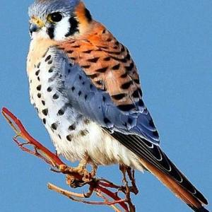 Raptor Group Spring Art Show - American Kestrel Art Competition